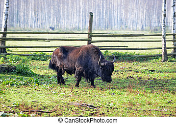 long-haired yak graze in field near forest