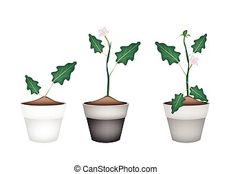Green Eggplant Tree in Ceramic Flower Pots - Vegetable,...