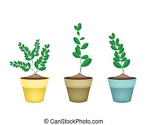 Fresh Moringa Tree in Ceramic Flower Pots - Vegetable and...