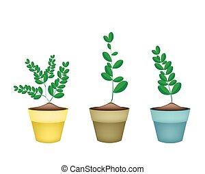 Fresh Moringa Tree in Ceramic Flower Pots - Vegetable and...