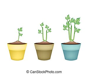 Fresh Celery Root in Ceramic Flower Pots - Vegetable and...
