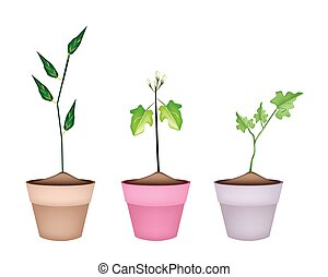 Three Green Eggplant Tree in Ceramic Pots - Vegetable,...