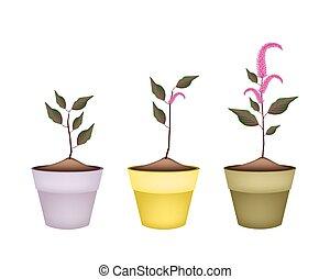 fresco, rojo, amaranth, en, cerámico, flor, ollas,