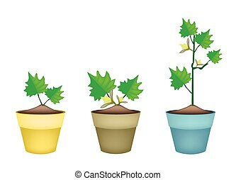 Three Green Eggplant Tree in Clay Pots - Vegetable,...