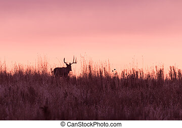 Whitetail Buck in Sunrise
