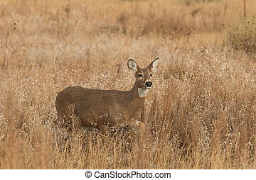 Whitetail Doe - a whitetail doe standing in a field