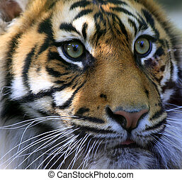 Sumatran Tiger - Close up of a critically endangered...