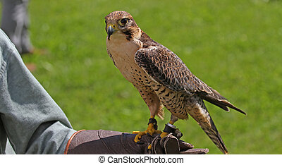 Falconer with the Falcon on training glove - Falconer with...