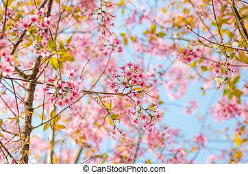 Beautiful cherry blossom Sakura, Chiang Mai, Thailand -...