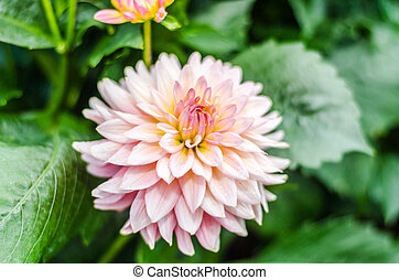 Close up Orange Dahlia hybrid flower with blurred background