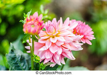 Close up Orange on pink Dahlia hybrid flower with blurred...