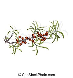 Buckthorn berries and foliage ingredient fruit vector...