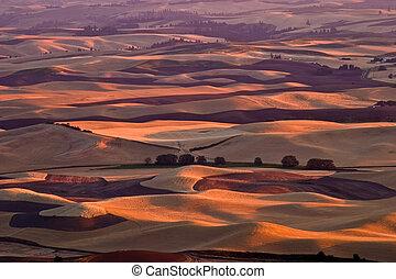 Rolling fields - rolling wheat fields under sunset
