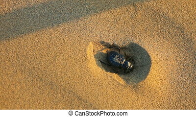 Scarab beetle digs hole in sand - macro