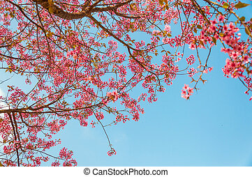 Beautiful cherry blossom Sakura, Chiang Mai, Thailand -...