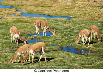 Vicuna - Family group of vicuna Vicugna vicugna grazing on...