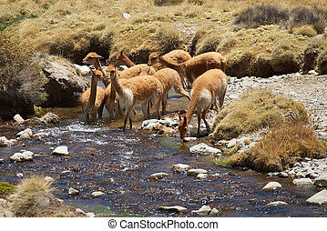 Vicuna in Water - Family group of vicuna Vicugna vicugna...