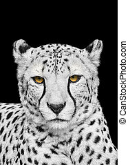 Adult Cheetah Looking at the Camera - Adult cheetah isolated...