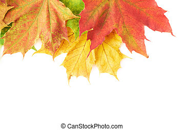 Few colorful maple leaves isolated over the white as an...