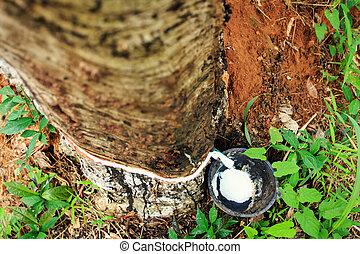 caucho, árbol,