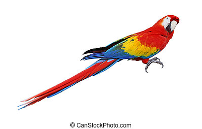 Parrot - Whole parrot bird isolated on white background