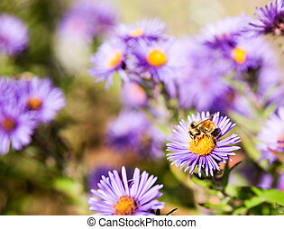 Bee on Aster flower - Bee closeup on purple aster flower