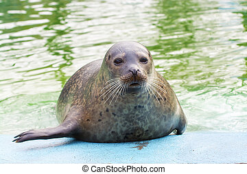 Harbor seal Phoca vitulina - Harbor or common seal Phoca...