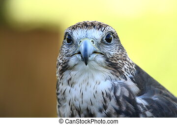 Face to face with a hawk