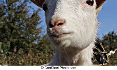 Little white goat cries - Lovely white goat cries twice,...