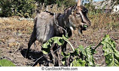 Brown goatling eating leaves - Little brown goat stands on...