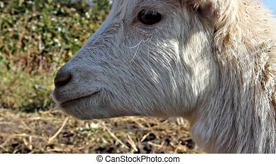 Young white goat cries - Little white goat cries and turns...