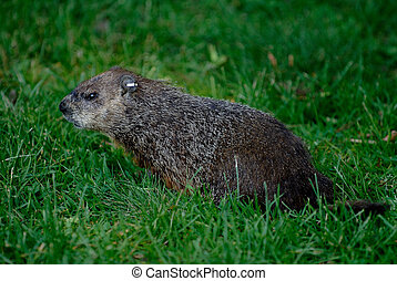 woodchuck is looking for the food on the grass
