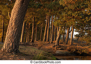 Pine forest in the autumn - Autumn in Sweden
