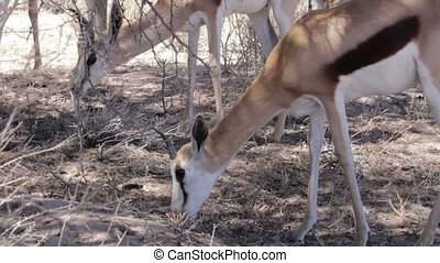 Portrait of young Impala antelope grazing in Etosha national...