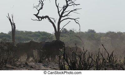 herd of African elephants in africa