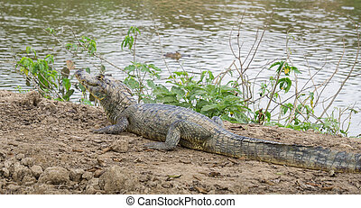 Yacare Caiman with closed jaws on a sandbank in Pantanal -...