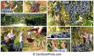 grapes and vineyards montage - a collage including people...