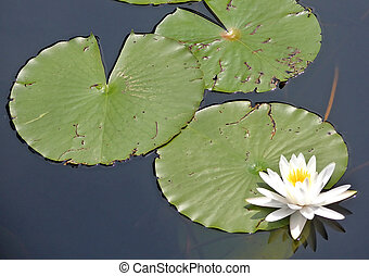 Lily Pads and Lily
