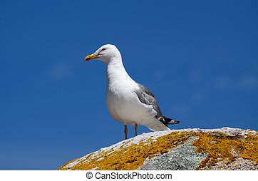 seagull perched  in a rock
