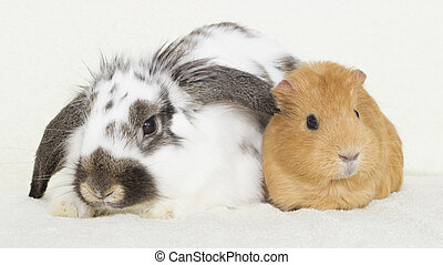 cute rabbit and a golden guinea pig on the bedspread