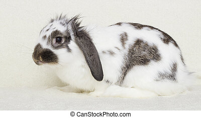 lop-eared rabbit sitting on a pale yellow blanket