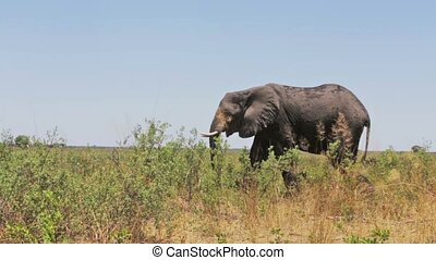 African elephants in bush