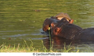Two fighting young male hippo - Two young male hippopotamus...