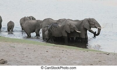 herd of African elephants drinking at waterhole