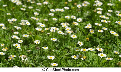 Daisies in the grass Flowers in th - Daisies in the grass...