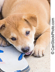6 weeks Thai Puppy Thai dog cute caught while chewing on a...