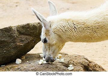 Llama lama in the zoo outdoors