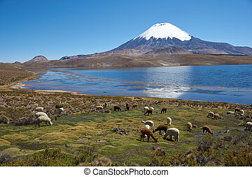 Altiplano - Alpacas grazing on the shore of Lake Chungara at...