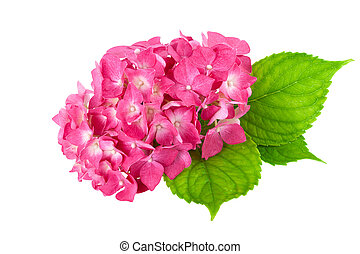 flower pink green leaf Hydrangea isolated