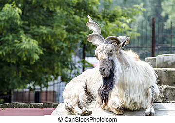 Markhor - Goat with spiral horns, or markhor Latin Capra...